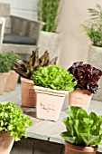 MIXED LETTUCE IN POTS; LACTUCA SATIVA DEER TONGUE RED, MORDORE, REINE DES GLACES