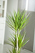 DRACAENA MARGINATA, (DRAGON TREE)