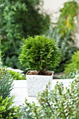 THUJA OCCIDENTALIS DANICA (AGM)