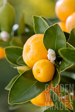 Citrofortunella_microcarpa_Calamondin