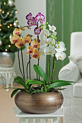 PHALAENOPSIS_MIX_WITH_WHITE_YELLOW_PURPLE_ORCHIDS_IN_CONTAINER_CHRISTMAS_THEME