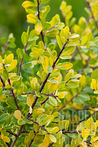 Fm14270224 Ilex Crenata Golden Gem Asset Details Garden World Images