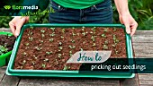 HOW TO: PRICKING OUT SEEDLINGS - STEP BY STEP ACTION VIDEO