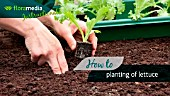 HOW TO: PLANTING LETTUCE (LACTUCA SATIVA)- STEP BY STEP ACTION VIDEO