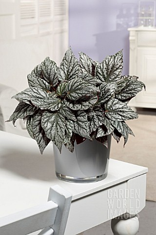 BEGONIA_JOLLY_SILVER_MAGIC_COLOURS