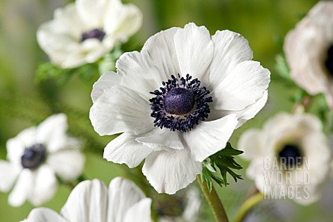 White Anemone Anemone marianne whiteWhite Anemone Saltwater