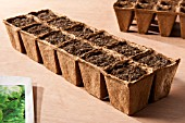 SEED SOWING - LETTUCE
