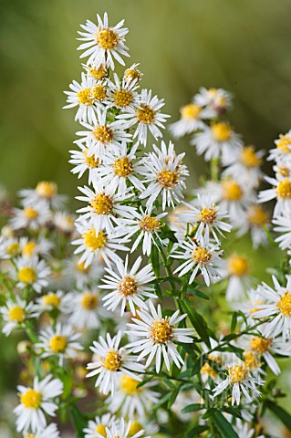 ASTER_ERICOIDES_GOLDEN_SPRAY
