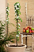 MALUS DOMESTICA BALLERINA  (APPLE TREE BALLERINA IN STANDARD FORM)