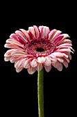 GERBERA HYBRID BICOLOURED PINK/WHITE
