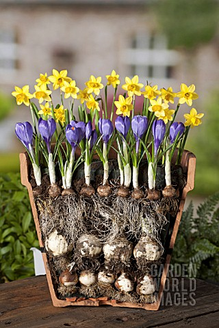 LAYERED_BULBS_NARCISSUS_AND_CROCUS_LASAGNE_METHOD_OF_PLANTING