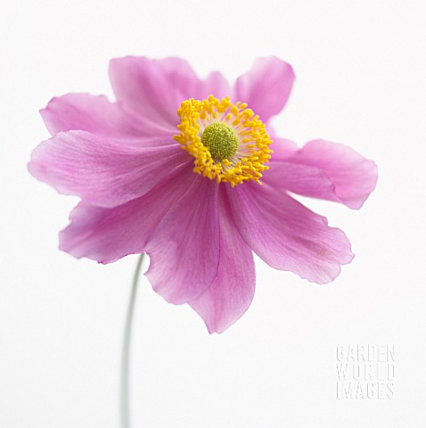 ANEMONE_JAPONICA_JAPANESE_ANEMONE