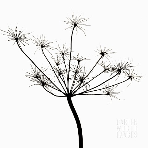 ANTHRISCUS_SYLVESTRIS_COW_PARSLEY