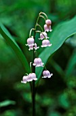 CONVALLARIA MAJALIS F. ROSEA, LILY-OF-THE-VALLEY