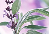 SALVIA OFFICINALIS, SAGE