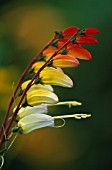 MINA LOBATA EXOTIC LOVE, SPANISH FLAG