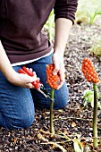 ARUM ITALICUM, LORDS AND LADIES