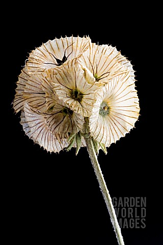 SCABIOSA_STELLATA_PAPER_MOON_PINCUSHION_FLOWER