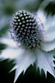ERYNGIUM GIGANTEUM MISS WILMOTTS GHOST, SEA HOLLY - MISS WILMOTTS GHOST