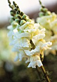 ANTIRRHINUM 'ROYAL BRIDE', SNAPDRAGON