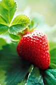 FRAGARIA X ANANASSA, STRAWBERRY