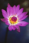 NYMPHAEA CAPENSIS, WATER LILY, BLUE LOTUS