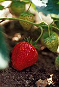 FRAGARIA 'RED GAUNTLET', STRAWBERRY