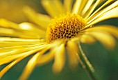 DORONICUM, LEOPARDS BANE