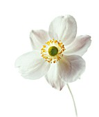 ANEMONE JAPONICA, (JAPANESE ANEMONE)