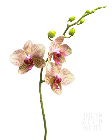PHALAENOPSIS_ORCHID__MOTH_ORCHID