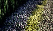 SALVIA OFFICINALIS PURPURASCENS, SAGE - PURPLE SAGE