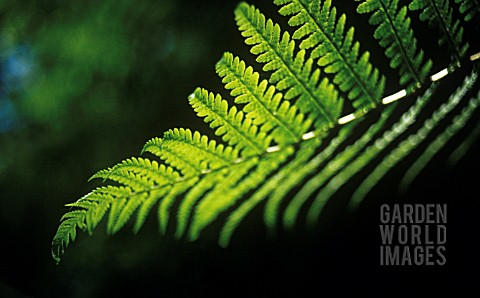 FERN_FROND_CLOSE_UP