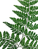 SINGLE FERN FROND, (CLOSE UP, CUT OUT)