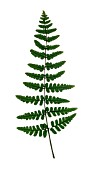 SINGLE FERN FROND, (VERTICAL, CUT OUT)