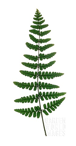 SINGLE_FERN_FROND_VERTICAL_CUT_OUT