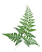 SINGLE FERN FROND, (DIAGONAL, CUT OUT)