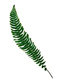 NEPHROLEPIS EXALTATA BOSTONIENSIS, FERN - BOSTON FERN