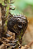 HAIRY ENCASED UNFURLING FERN FROND