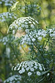 AMMI MAJUS, BISHOP'S WEED
