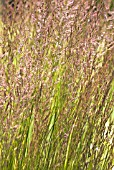 CALAMAGROSTIS BRACHYTRICHA, STIPA BRACHYTRICHA, KOREAN FEATHER REED GRASS
