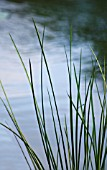 GRASS ON  WATERSIDE