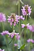 STACHYS OFFICINALIS, BETONY