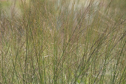 MOLINIA_CAERULEA_TRANSPARENT_PURPLE_MOOR_GRASS