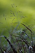 PANICUM VIRGATUM 'SQUAW', SQUAW SWITCH GRASS