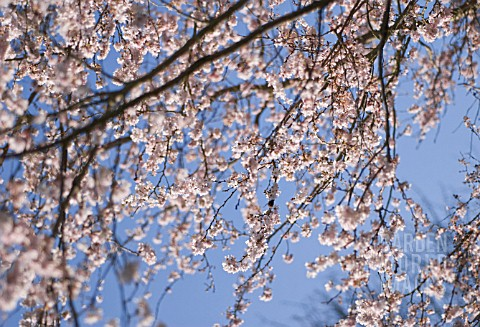 PRUNUS_SUBHIRTELLA_AUTUMNALIS_CHERRY__AUTUMN_FLOWERING_CHERRY