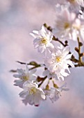 PRUNUS SUBHIRTELLA AUTUMNALIS, CHERRY - AUTUMN FLOWERING CHERRY
