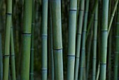 PHYLLOSTACHYS DECORA, BAMBOO - BEAUTIFUL BAMBOO