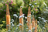 EREMURUS X ISABELLINUS 'CLEOPATRA', FOXTAIL LILY