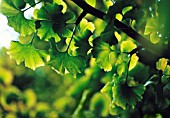 GINKGO BILOBA, GINGKO, MAIDENHAIR TREE