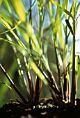 CYMBOPOGON CITRATUS, LEMON GRASS